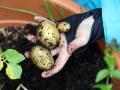 09-Kartoffeln